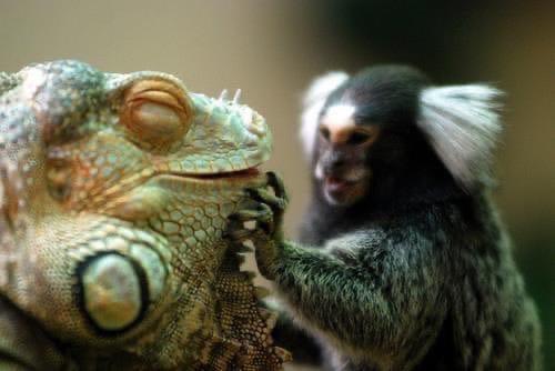 Забавные друзья зелёная игуана и мартышка