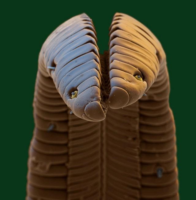 Кончик хоботка бабочки-бражника (языкан обыкновенный, Macroglossum stellatarum)