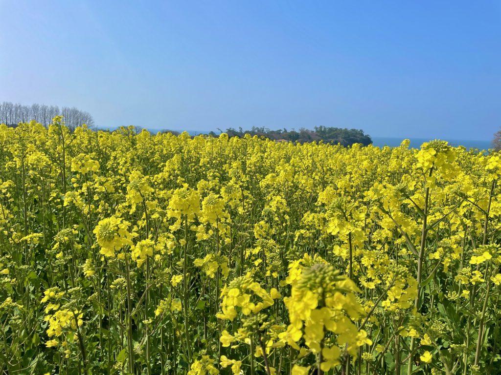 【豊後高田市 長崎鼻 菜の花畑】一面に広がる菜の花畑✨3月13日から見頃を迎えます!