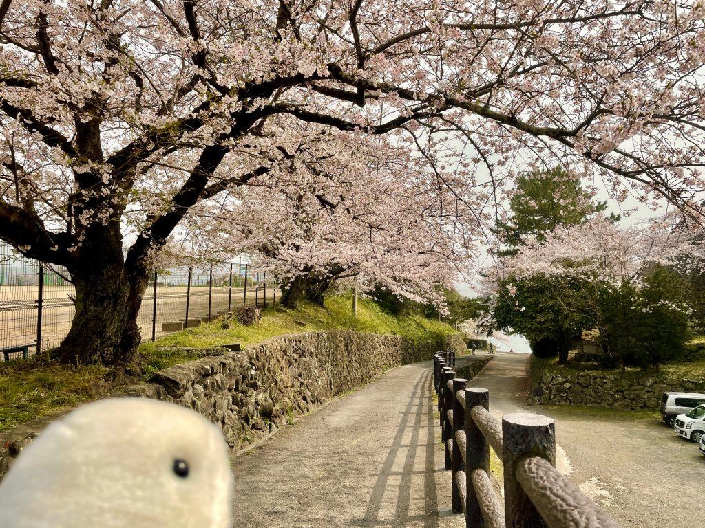 【日出町 日出城址の桜】日出町のお花見スポット🌸桜と海を一望出来る隠れた桜の名所✨