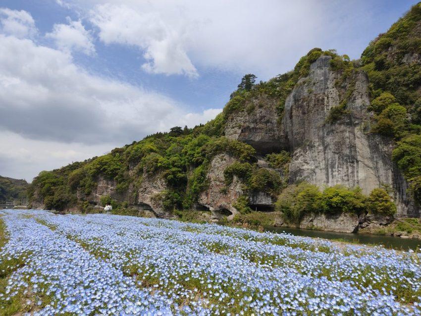 【中津市 耶馬渓ネモフィラ畑】青の洞門対岸に広がるネモフィラ畑!!見ごろは4月中旬~5月のGWまで♪