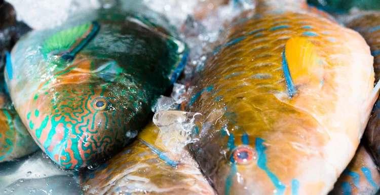 Papagei-Fische