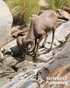 Ram drinking at rock pool