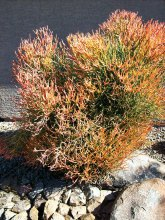 This Firestick plant has bright orange tips when winter arrives. If given water regularly when first planted, this plant will thrive in any garden.