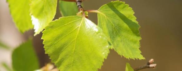 birkeblade_0