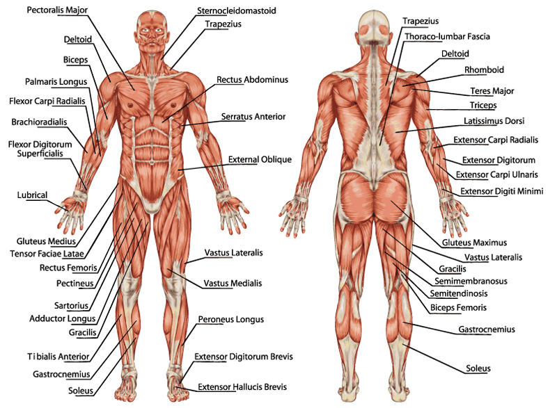 muskler og led