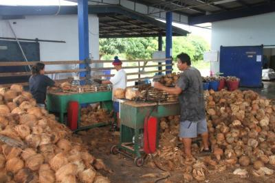 Kokosnødder til fabrikken