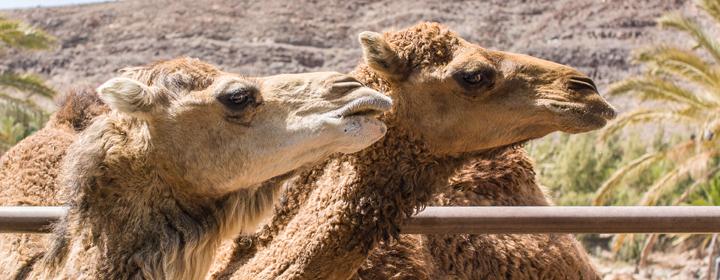 kamel mælk