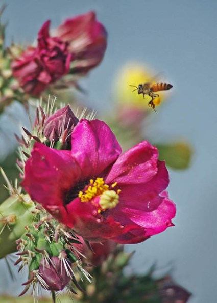 A bee and a cactus