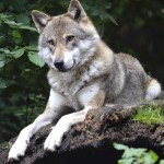 sundance vacations wolf