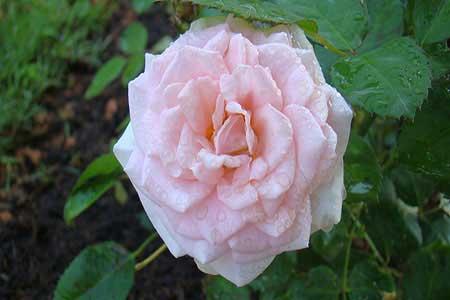 View from Sundara Maha Garden The Pink Hybrid Rose