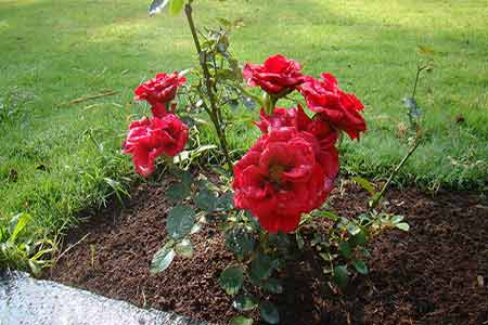 View from Sundara Mahal Garden The Red Hybrid Roses