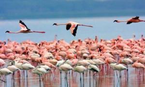 lake-nakuru-flamingo-flying