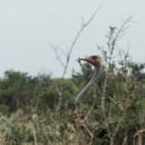 ostrich-tsavo-east