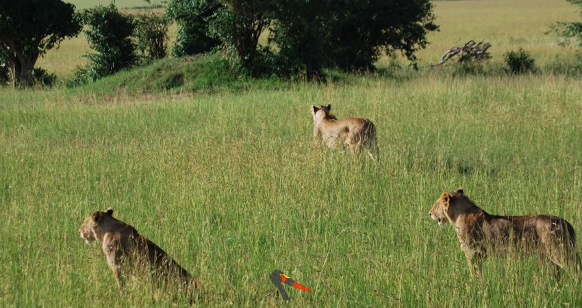 slide-lioness-masai-mara-safari