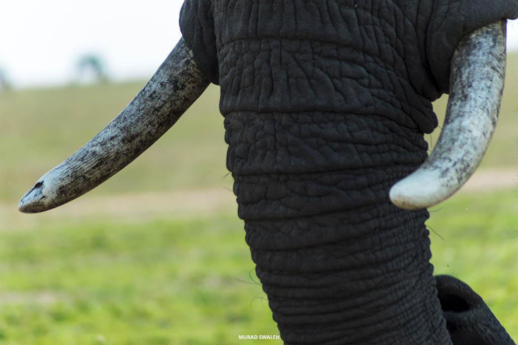 tusks-elephant-masai-mara-sunday-best-safaris-murad-swaleh