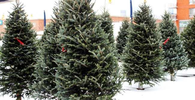 Natal e ano novo na neve de Montreal - pinheirinhos