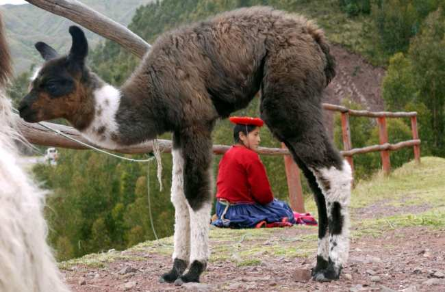 Fabulous Peru Tours - Llama e Peruana típica