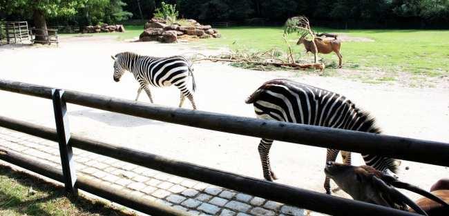 Zoológico de Nuremberg - Zebrinhas Listratas