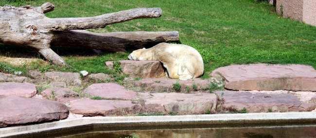Zoológico de Nuremberg - Urso Polar