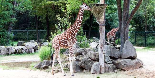 Zoológico de Nuremberg - Girafas