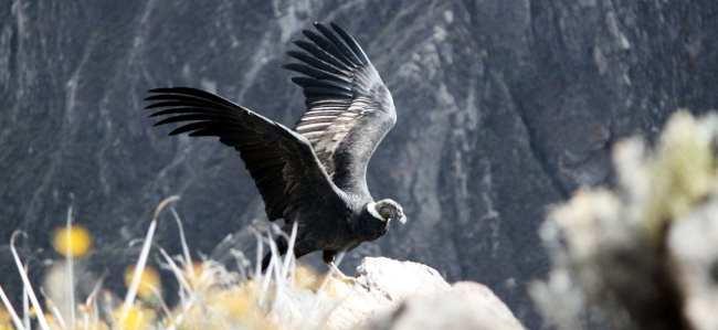 Tour privado ou compartilhado no Peru? - Valle del Colca 3 condor