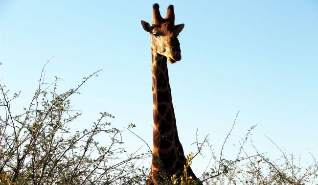 Fazer safari na África - girafa