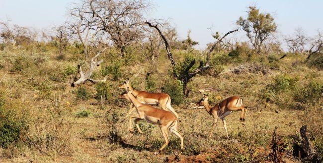 Fazer safari na África - veados