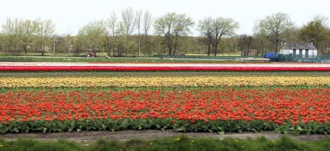 Como ir ao Keukenhof na holanda - jardim de tulipas perto de Amsterdã - 08