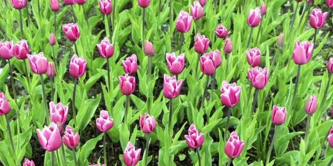 Como ir ao Keukenhof na holanda - jardim de tulipas perto de Amsterdã - 13