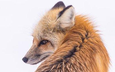 The Fox by Emma Downey