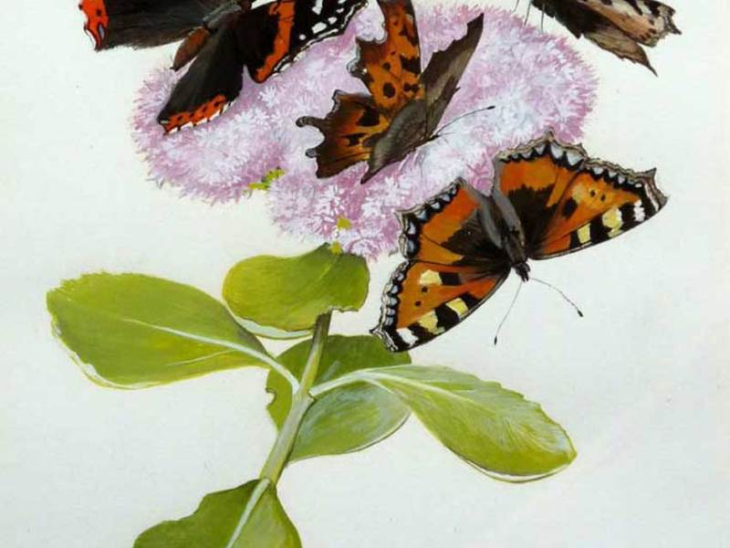 Common Tortoiseshell butterflies, Ken Wood