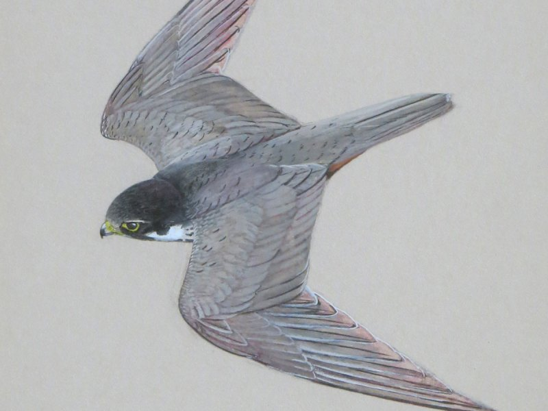 Ken Wood peregrine falcon