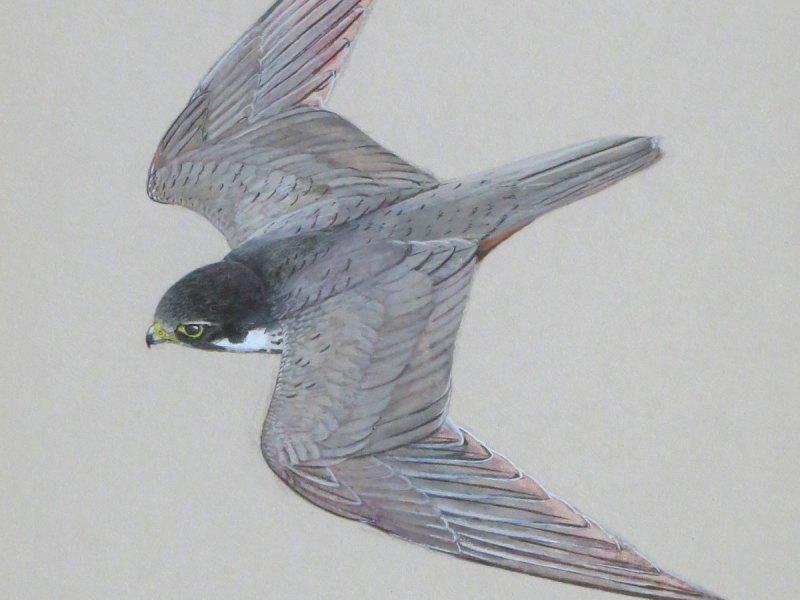 Ken Wood peregrine falcon
