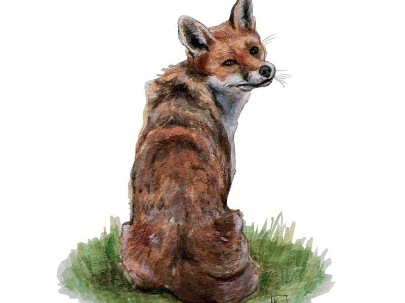 Original watercolour painting of a fox by Katherine Tyrer