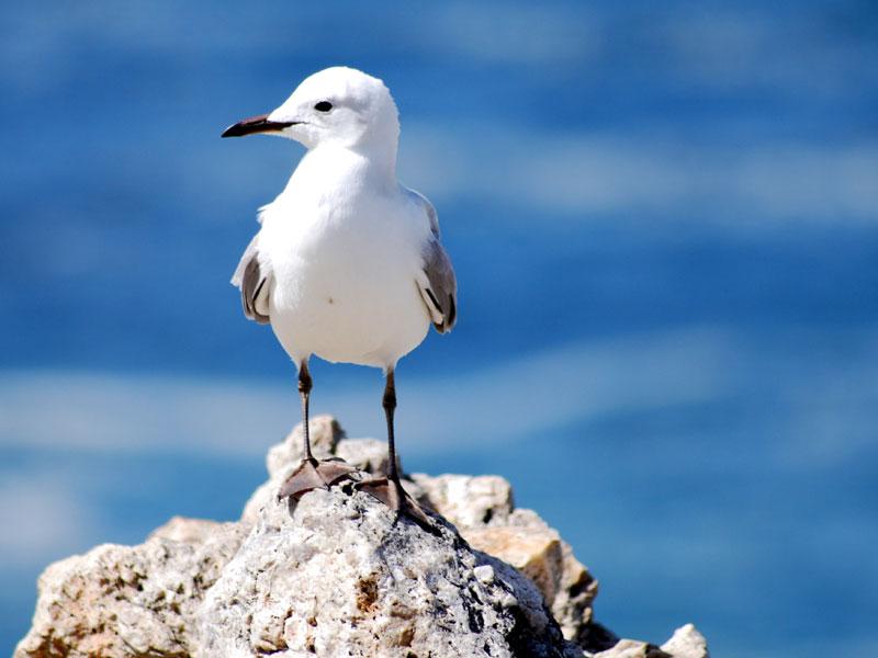 Hermanus-Seagull