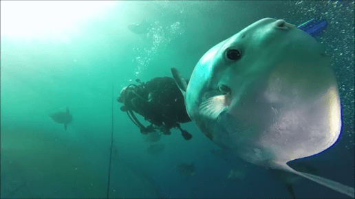 sunfish close up