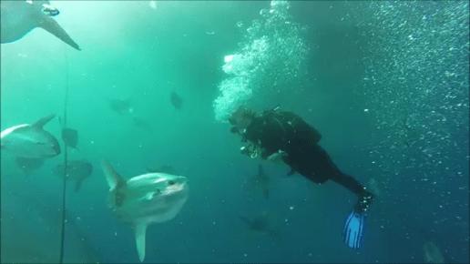 sunfish diver