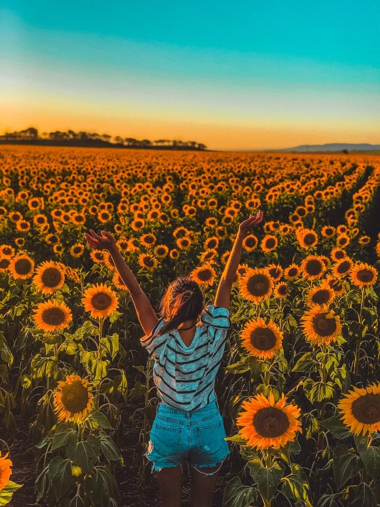sunflower field markham yellow