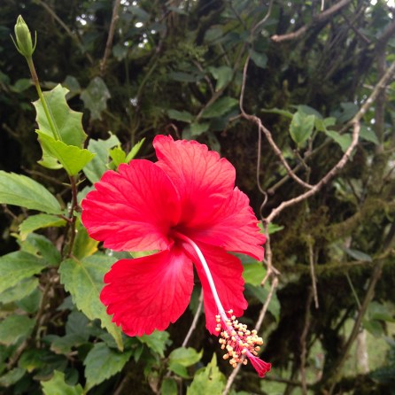 Hibiscus grows everywhere. This was along the fence to the cow pasture.
