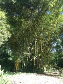 Grove of bamboo