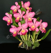 (SOLD OUT) Cattleya #06, 17 x 12 inches, $495