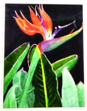 Bird of Paradise by Sylvia Nelson