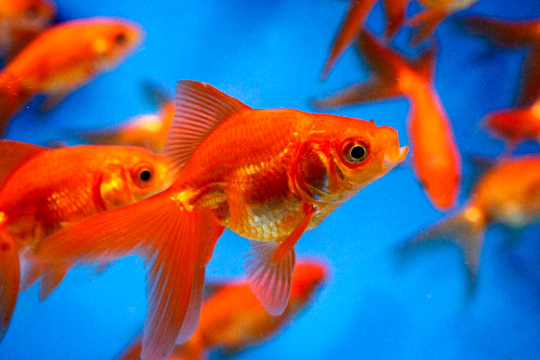 Image result for goldfish