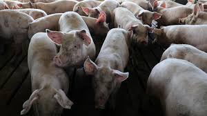 Japan To Vaccinate Pigs To Tackle Swine Flu Epidemic