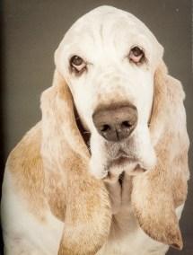 Buster (Bassett Hound)