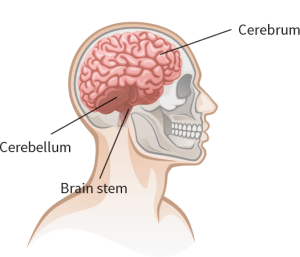 Understanding Concussions  What Happens When Brain Is Injured  Sunnybrook Hospital