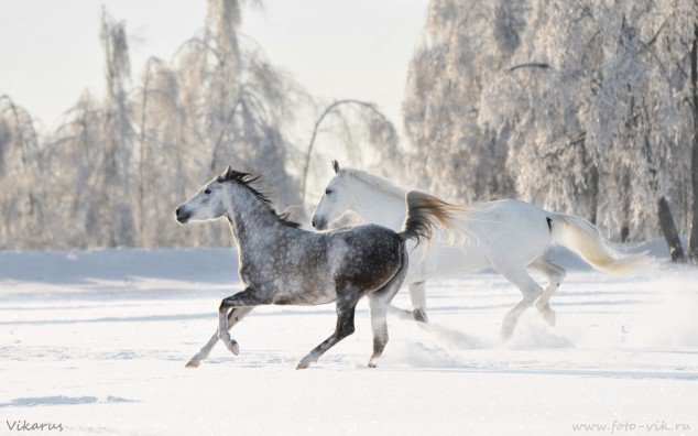 Turquoise Ice, Horses, Russia