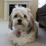 Hava Apso puppies for sale breeder Lhasa Apso Havanese mix