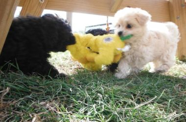Happy Puppies playing
